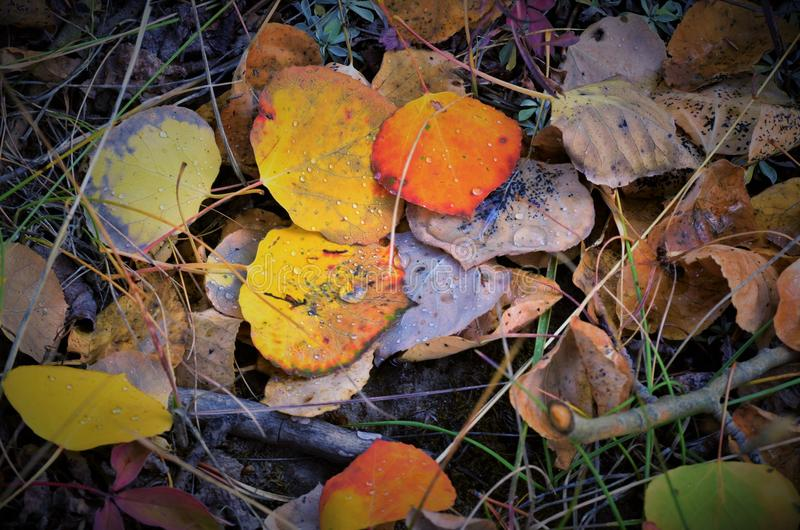 Fall Leaves in COLORADO Mountain stock images