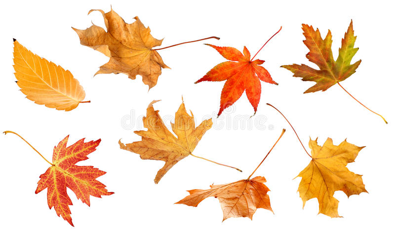 Fall leaves isolated on white background collage royalty free stock image