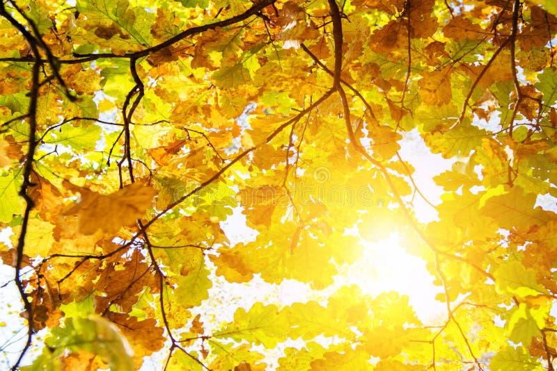 Fall leaves oak. Fall leaves of oak and sunshine stock photography