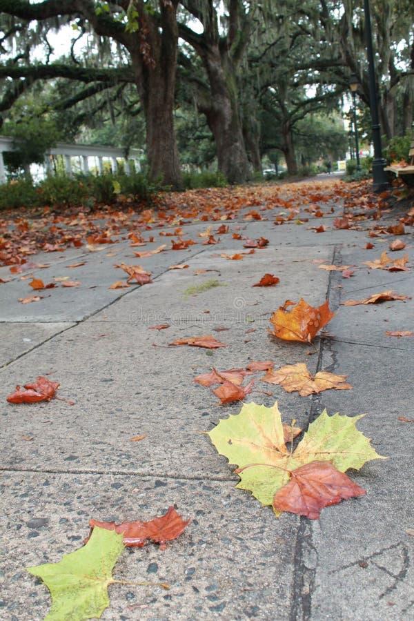 Fall Leaves on a Path below Spanish Moss in Savannah, GA royalty free stock image
