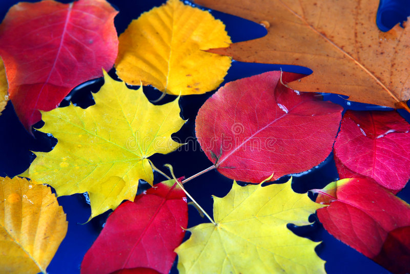Fall leaves in water royalty free stock photo