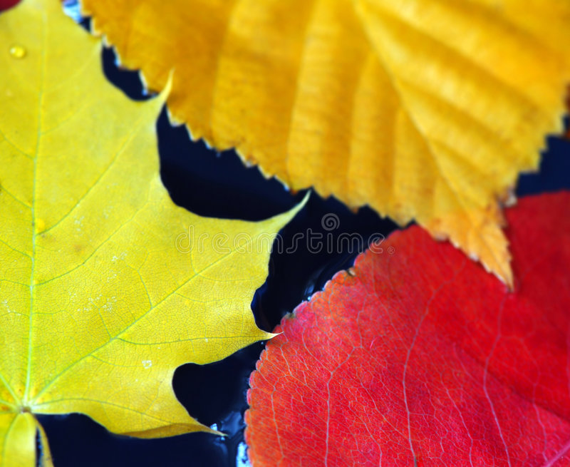 Fall leaves in water. Colorful fall leaves floating in blue water royalty free stock photography