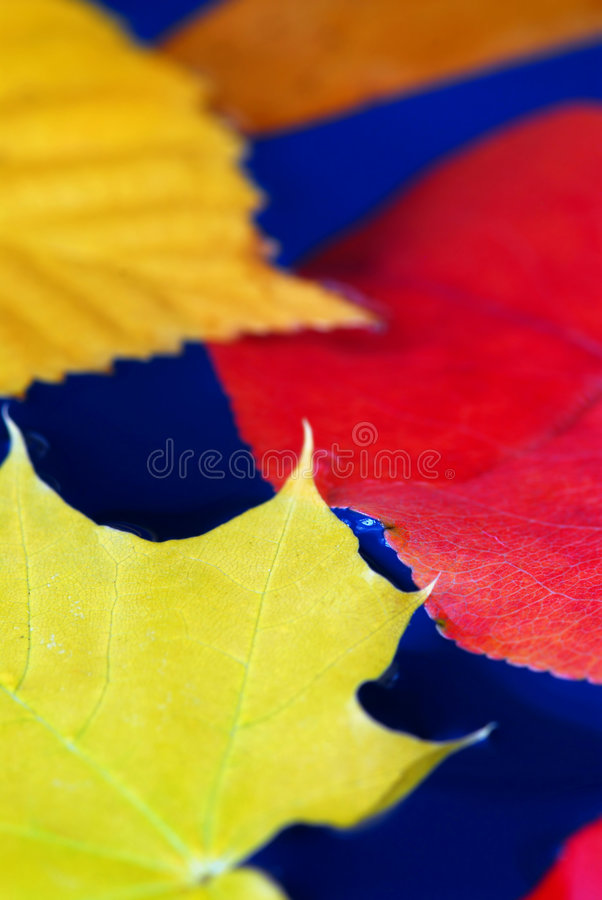 Fall leaves in water. Colorful fall leaves floating in blue water stock photography