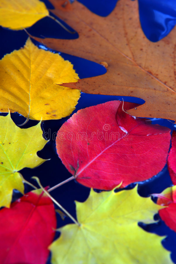 Fall leaves in water. Colorful fall leaves floating in blue water stock photo