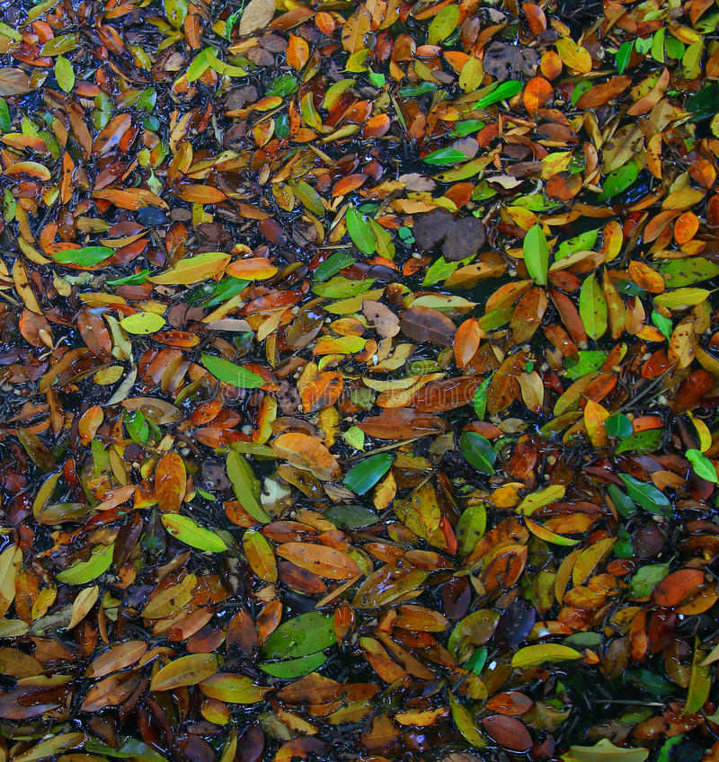 Fall Leaves in the water. Autumn lake, fallen leaves. On garden stock images
