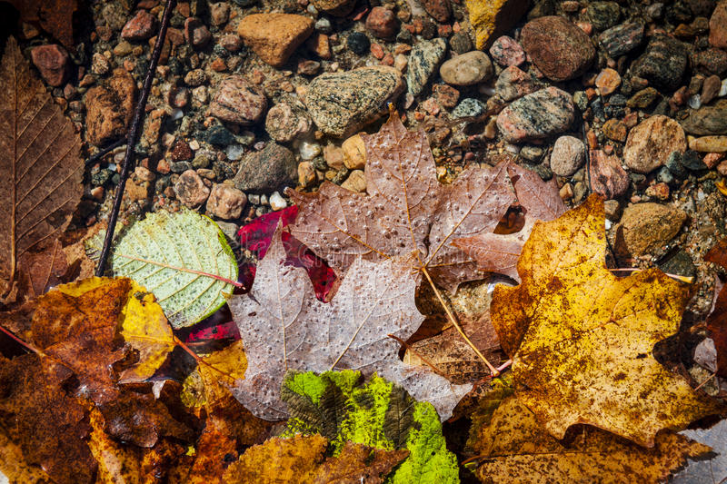 Fall leaves in water. Fallen autumn leaves of various fall colors floating in shallow lake water with rocks on bottom royalty free stock images