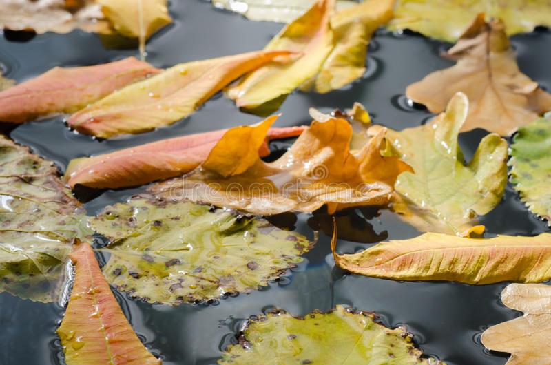 Fall leaves in water. Multicolored fall leaves in water royalty free stock image