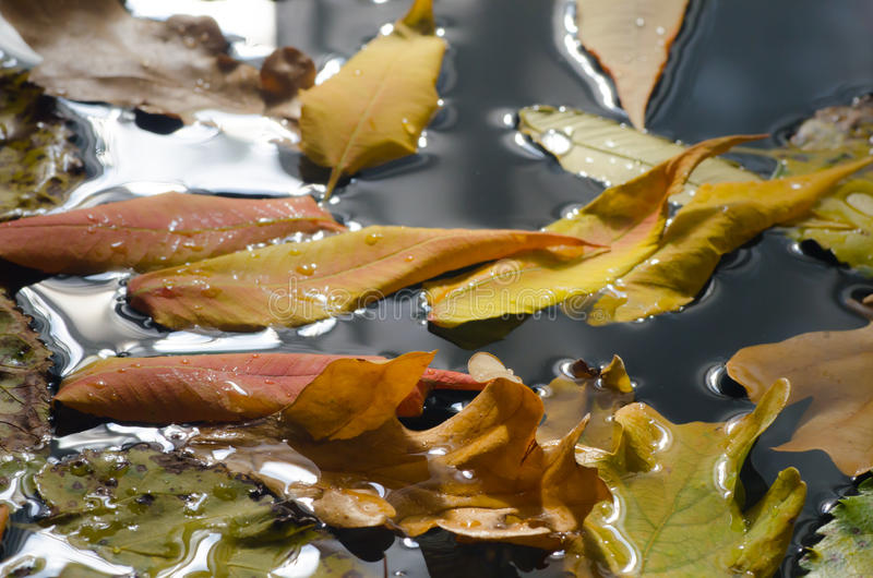 Fall leaves in water. Multicolored fall leaves in water stock photos