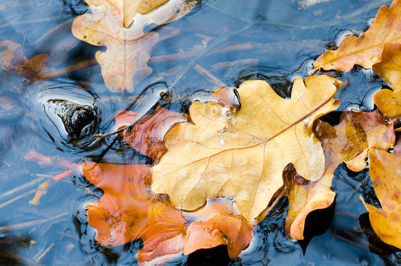 Fall leaves in water. Oak fall leaves in water stock photo