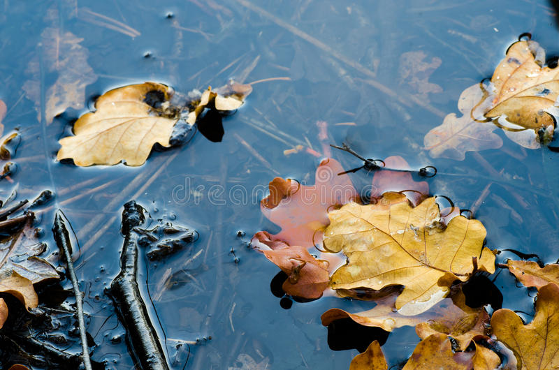 Fall leaves in water. Oak fall leaves in water royalty free stock photo