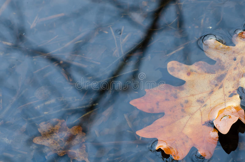 Fall leaves in water. Oak fall leaves in water stock photography