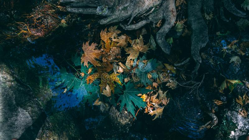 Fall leaves on water surface. Green. Yellow. Tree. Season fall leaves by the tree roots in the water stock photo