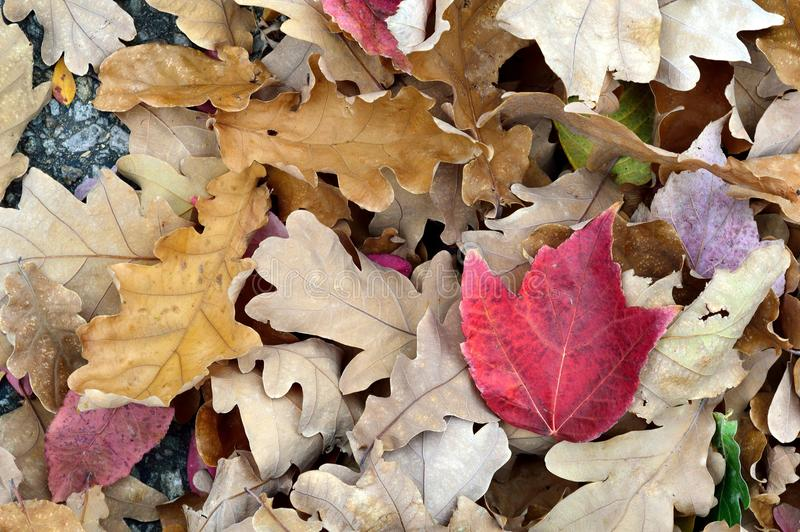 Download Fall Leaves White Oak Red Maple Stock Photo - Image of crunchy, rounded: 106248928