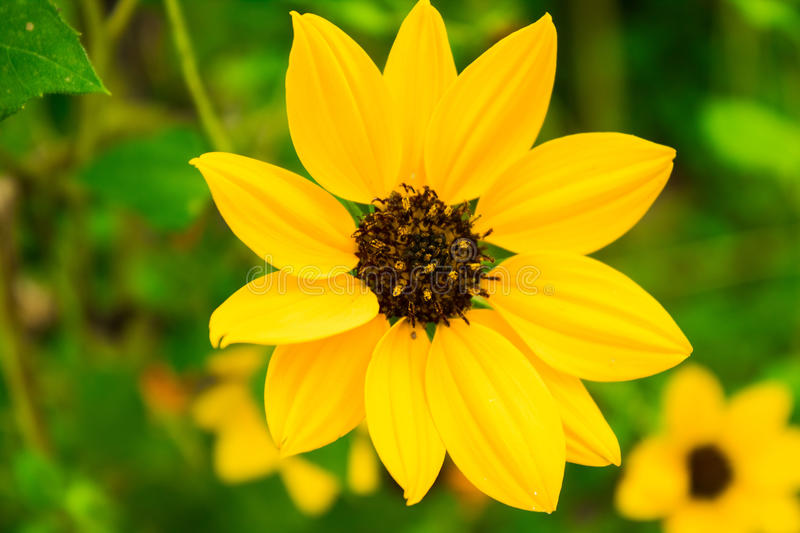 Fall in love with Yellow Beauty. A beautiful mini sunflower in yellow. Looks so amazing and eye catchy stock images