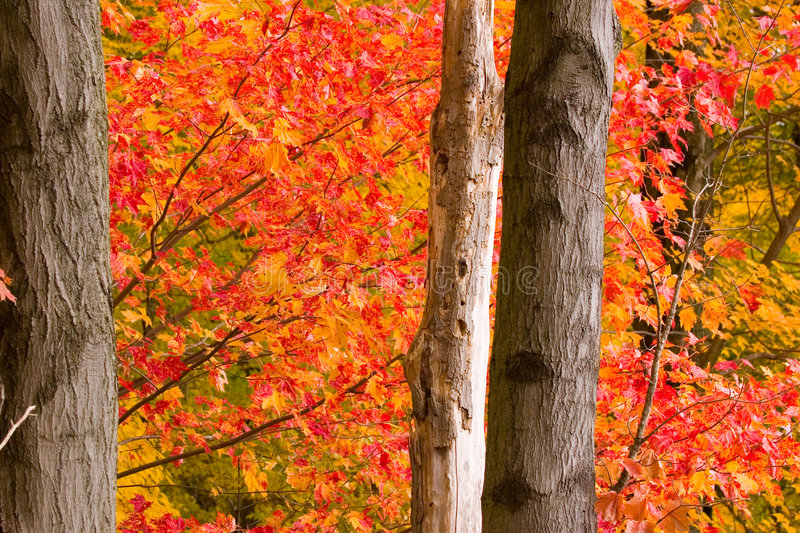 Fall Maple royalty free stock photography