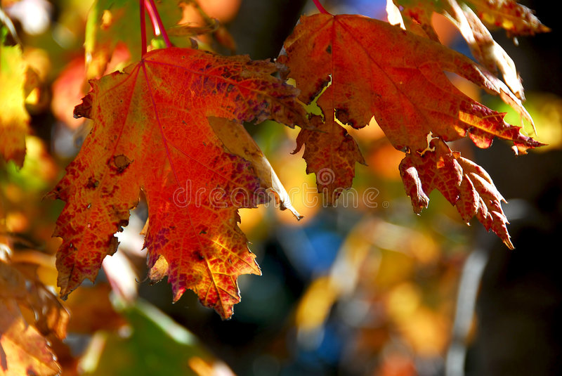 Download Fall maple leaves stock photo. Image of natural, details - 1330494