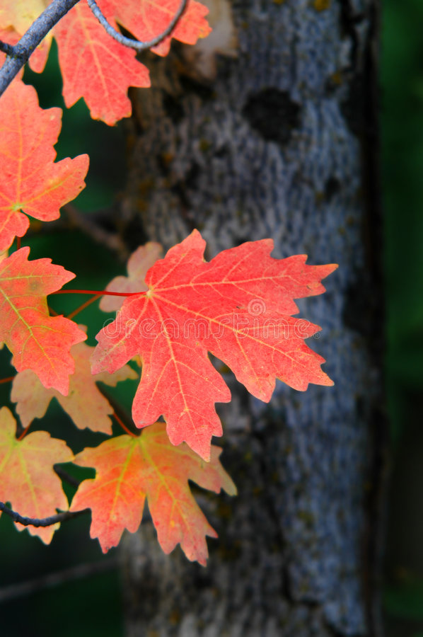 Download Fall Maple Leaves stock photo. Image of season, background - 2898352