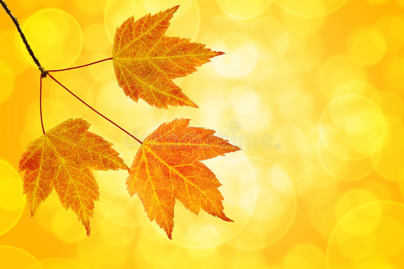 Download Fall Maple Leaves Trio With Bokeh Background Stock Photo - Image: 26599444
