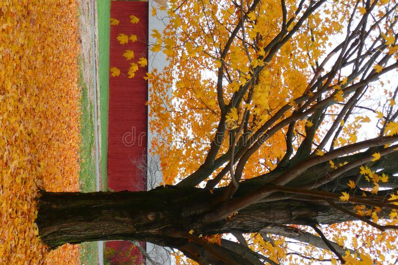 Free Fall: Maple Tree With Yellow Leaves Royalty Free Stock Images - 16785429