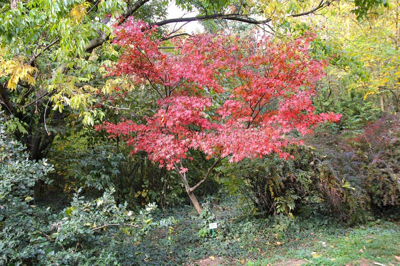 Fall maples - Acer palmatum - Botanical garden Macea - Arad county, Romania. Fall maples - Acer palmatum, commonly known as palmate maple, Japanese maple or royalty free stock photos