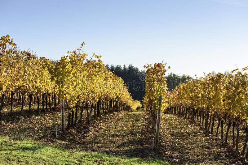 Fall Morning Colors of Vineyards in the Mid Willamette Valley, Marion County, Western Oregon. Fall Morning Colors of Vineyards in the Mid Willamette Valley royalty free stock photography