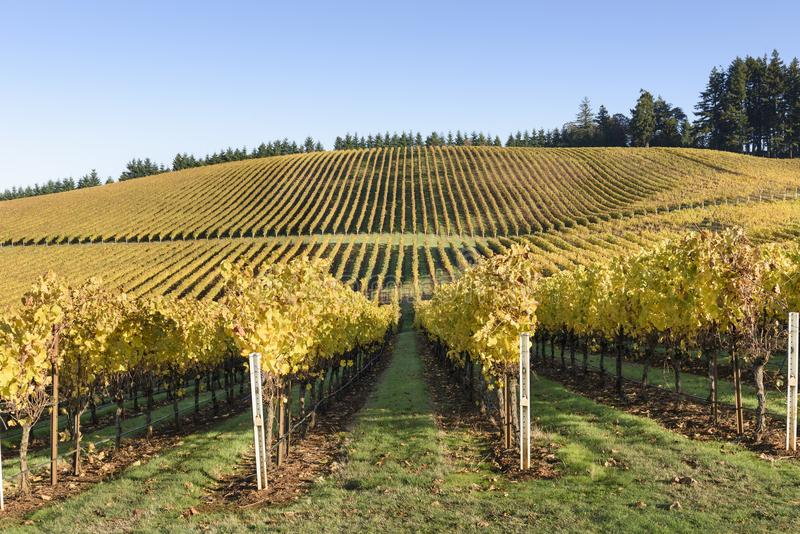 Fall Morning Colors of Vineyards in the Mid Willamette Valley, Marion County, Western Oregon. Vineyards in the Mid Willamette Valley royalty free stock photo