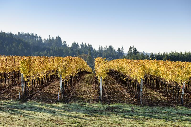 Fall Morning Colors of Vineyards in the Mid Willamette Valley, Marion County, Western Oregon. Vineyards in the Mid Willamette Valley stock photo