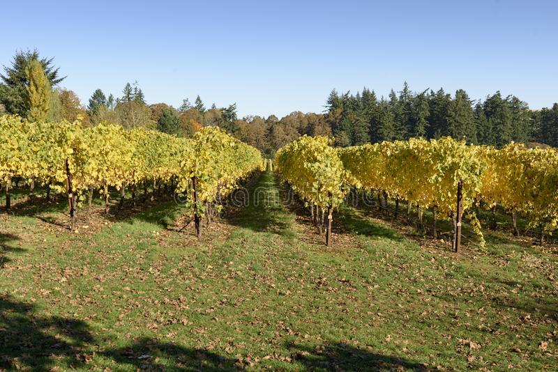 Fall Morning Colors of Vineyards in the Mid Willamette Valley, Marion County, Western Oregon. Vineyards in the Mid Willamette Valley royalty free stock photos