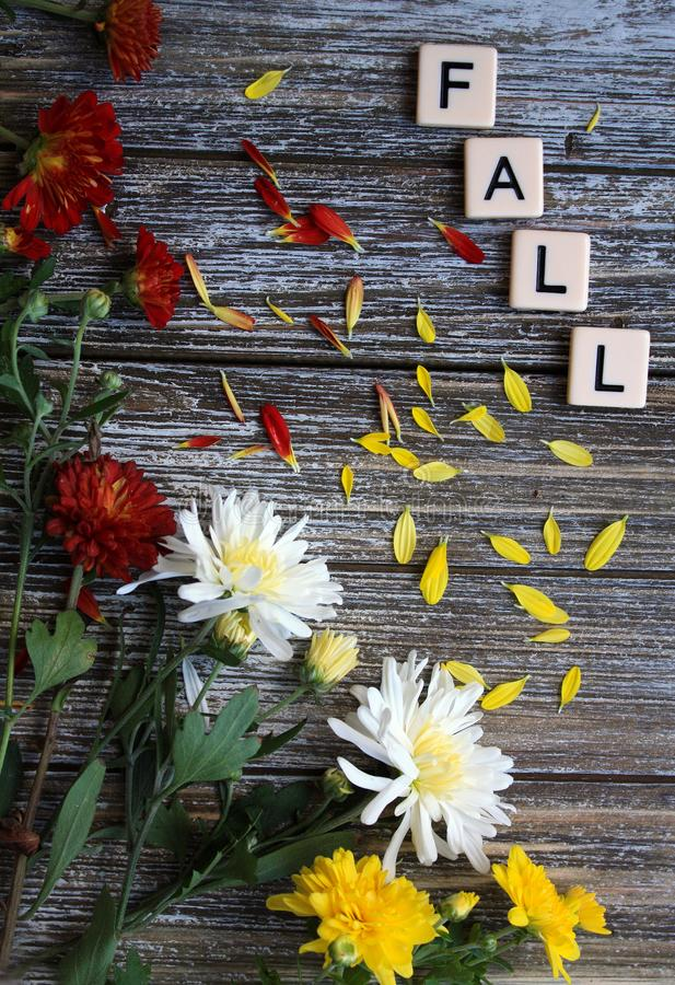 Fall mum flowers in a frame with words fall. Orange yellow white mum flowers on a rustic wooden background in vertical format with loose petals. The word fall in royalty free stock photo