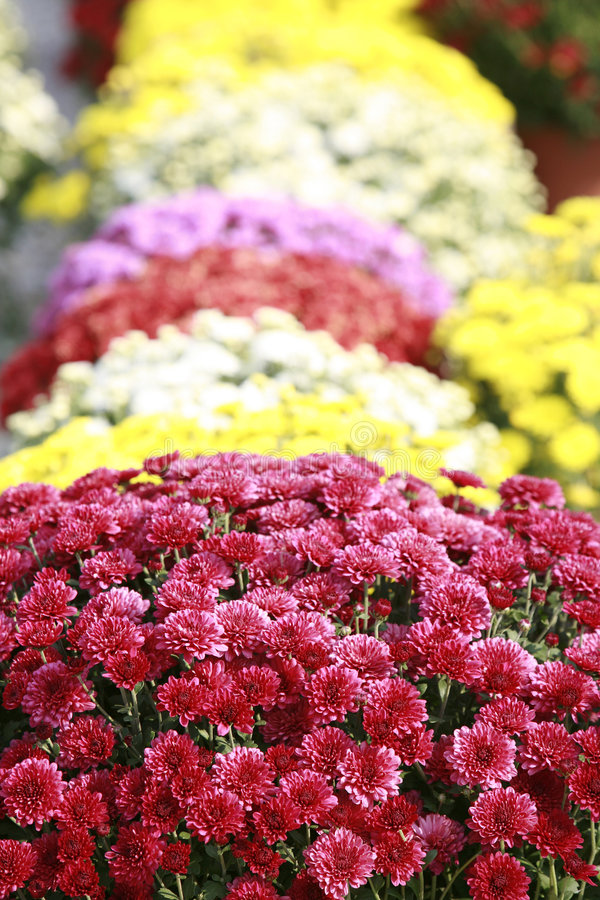 Free Fall Mums Royalty Free Stock Images - 4180269