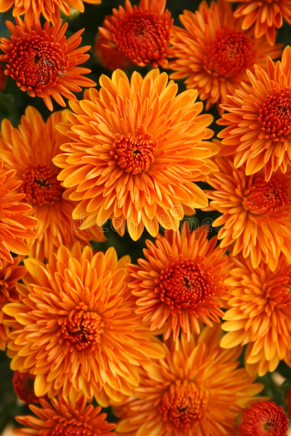 Free Fall Mums Royalty Free Stock Photography - 6460647