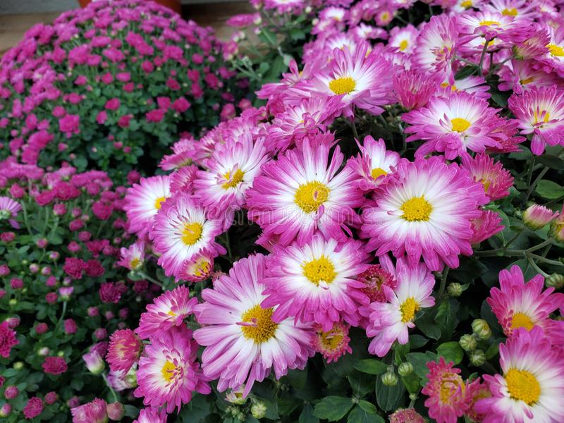 Fall Mums in Blooming Vibrant Colors. A pleasing variety of mums in Connecticut on a fine autumn day. Flowers in abundance in pink and white with yellow royalty free stock photo