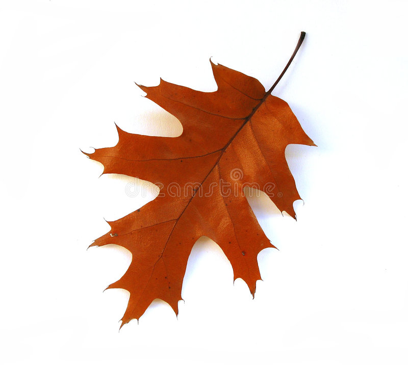 Fall oak leaf on white background stock photos
