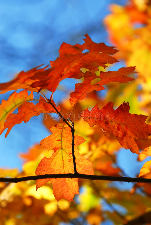 Fall oak leaves stock images