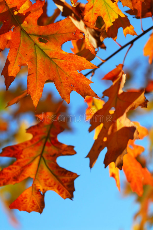 Free Fall Oak Leaves Royalty Free Stock Photo - 3478005