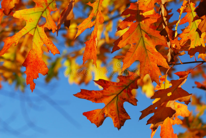 Fall oak leaves royalty free stock images
