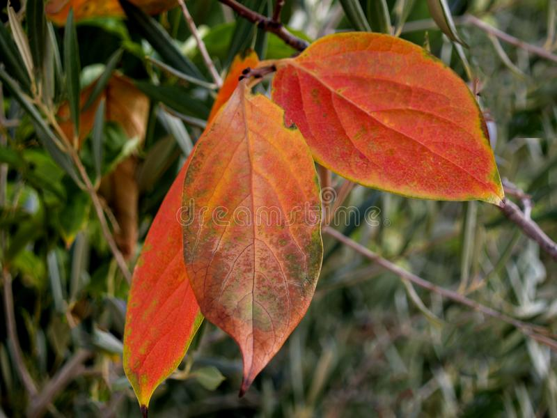 Fall persimmon leaves on the branch. And greenery in the background royalty free stock image