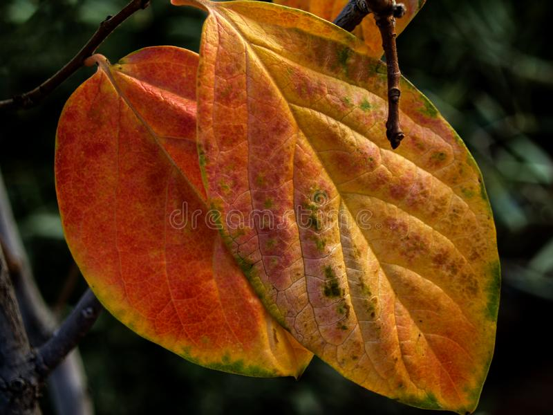 Fall persimmon leaves on the branch. On greenery dark background royalty free stock photos