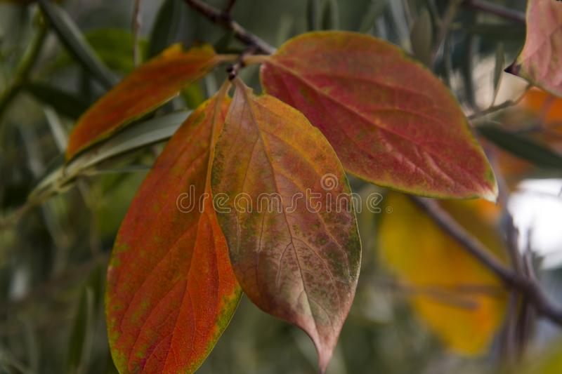 Fall persimmon leaves on the branch. And greenery in the background stock photos