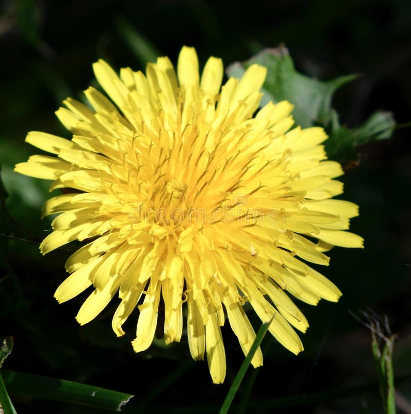 Dandelion in Full Bloom royalty free stock image