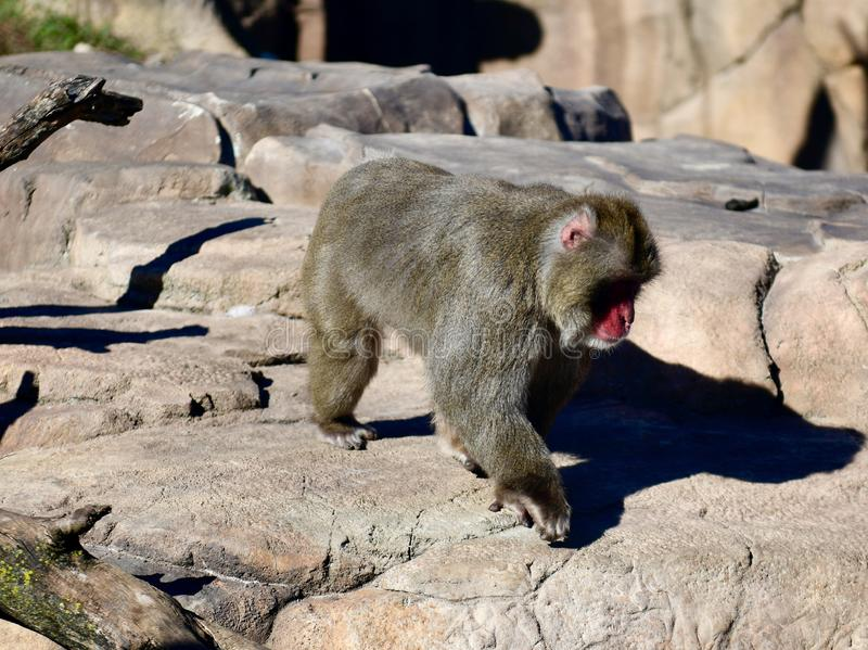 A Young Macaque Monkey royalty free stock image