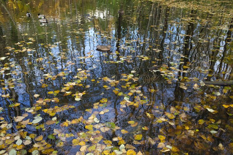 Fall pond scene with fallen leaves and tree reflections. A typical fall scene with fallen leaves in pond with tree reflections and duck royalty free stock images
