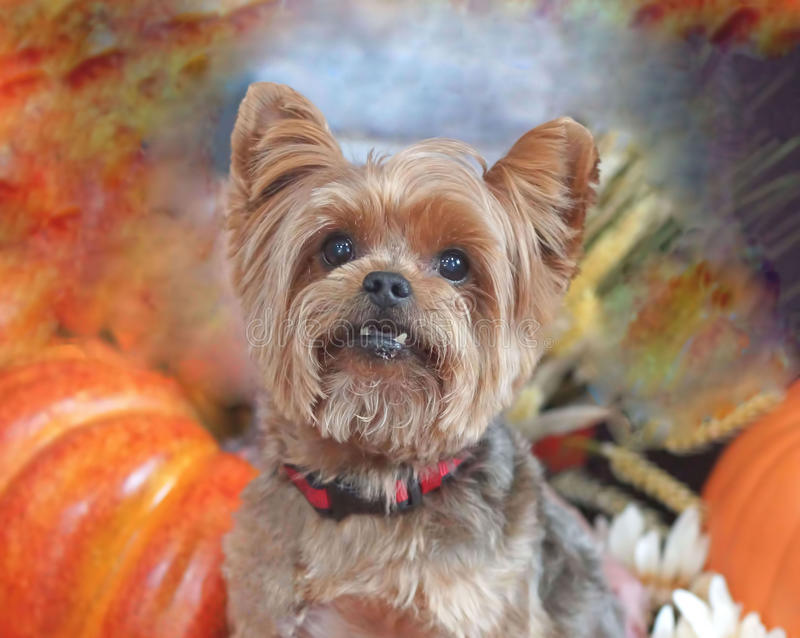 A fall portrait of a Yorkshire terrier stock images