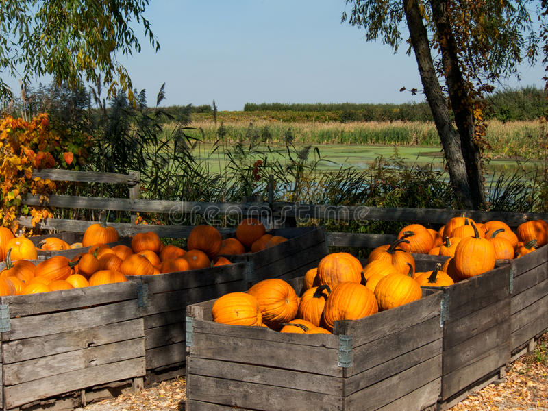 Download Fall Pumpkins Royalty Free Stock Image - Image: 26472856