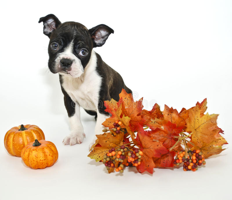 Fall Puppy. Boston Terrier with fall decor on a white background stock photos