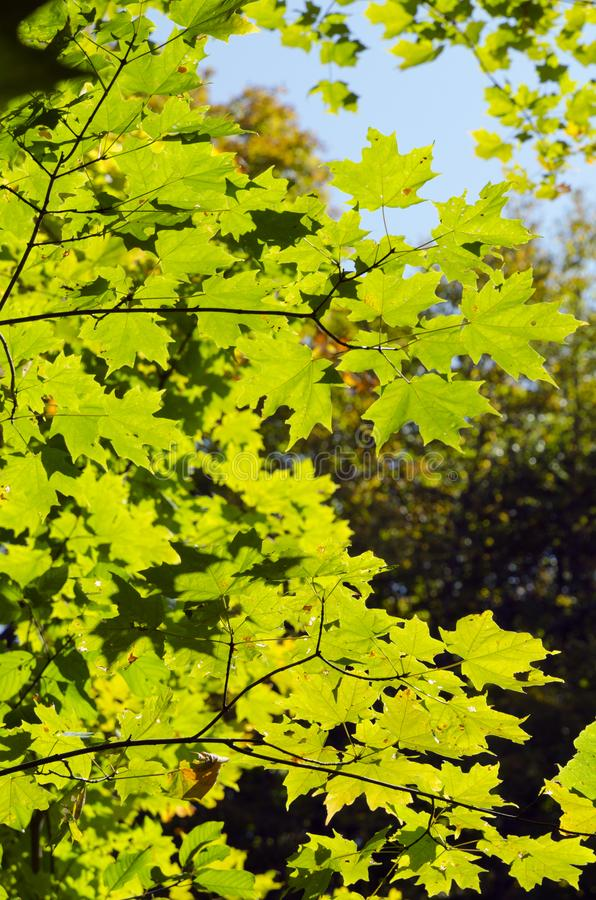 Fall`s colorful tree royalty free stock images