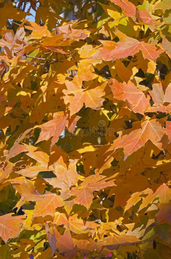 Fall`s colorful tree royalty free stock photos