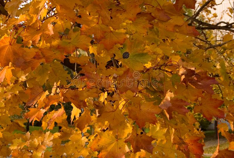 Fall`s colorful tree royalty free stock photo