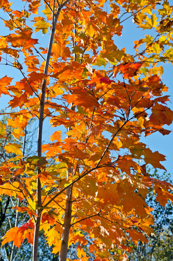 Fall's colorful trees. In park. Ontario, Canada royalty free stock image
