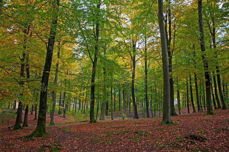 Fall in scandinavian forest. Dim light forest with beautiful fall colours and fallen red brown leafs on the ground stock photos